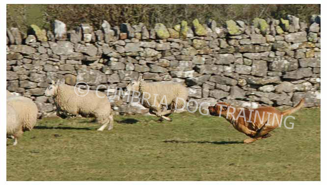 Cumbria Dog Training - stop your dog chasing sheep